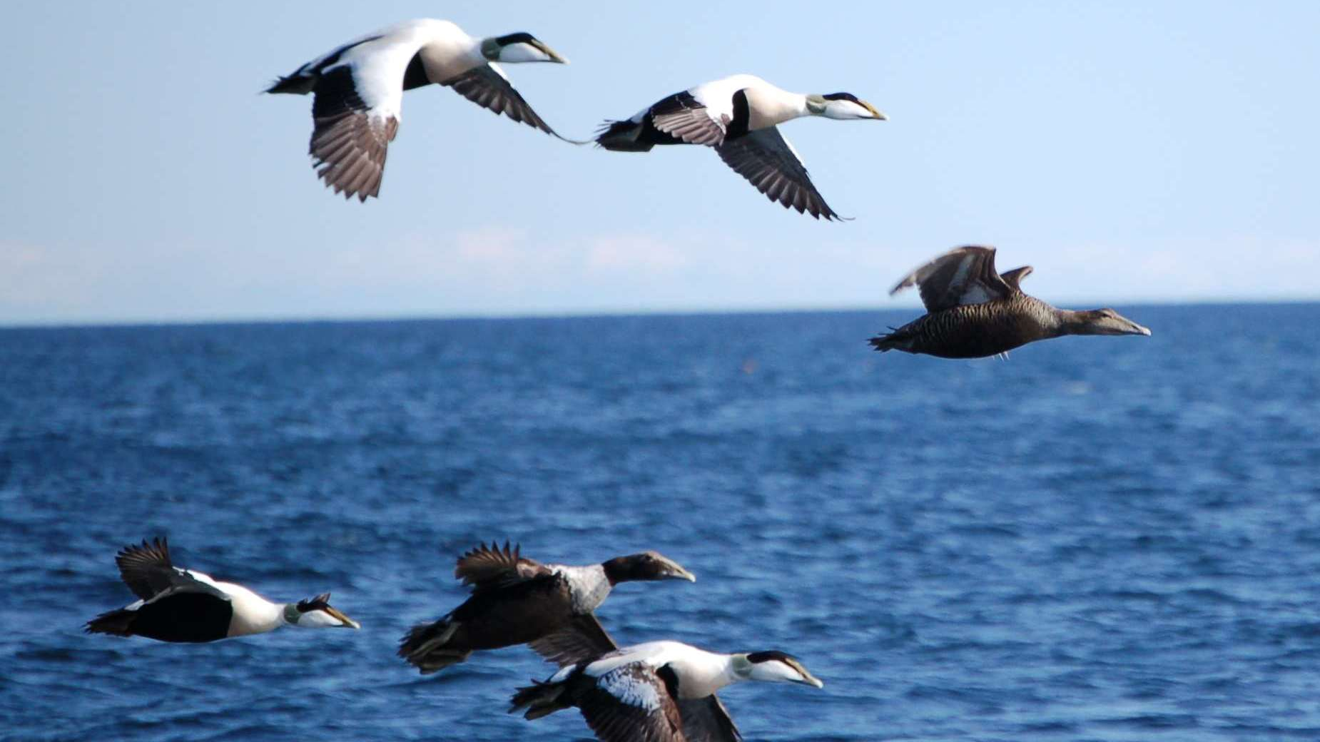 Eiderenten im Flug; Foto: Arnstein Rønning / Flock in flight; Stavern, Norway / CC BY 3.0