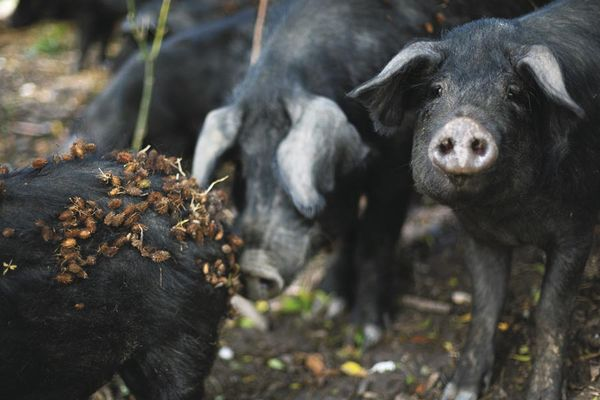 Schweine in der Natur. Foto: Luka Tomac / Friends of the Earth Europe