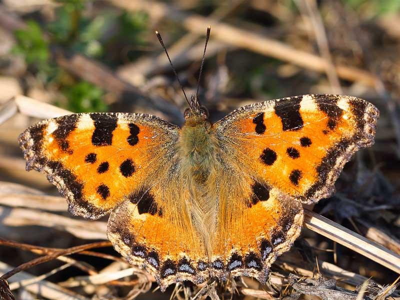 Oberseite des Großen Fuchses, dem Schmetterling des Jahres 2018; Foto: R. Manderbach / www.deutschlands-natur.de