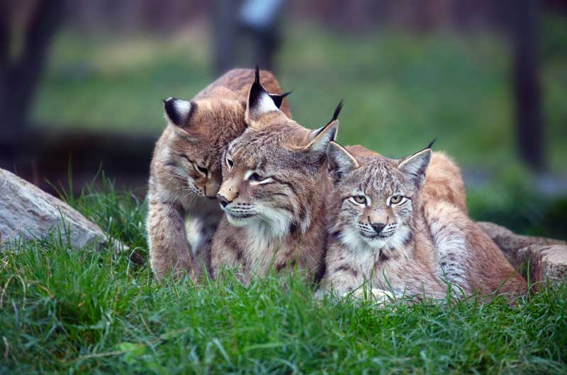 Luchs Familie