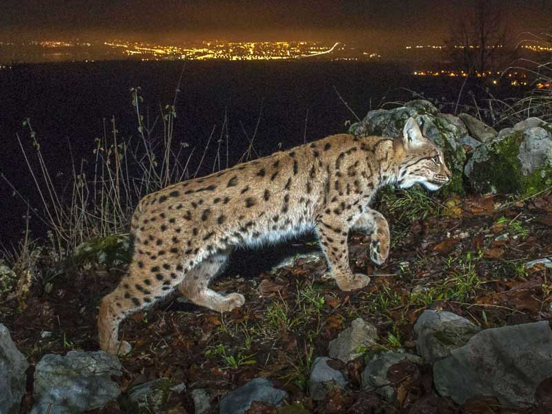 Luchs in der Nacht; Foto: Geslin Laurent